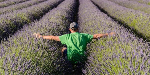 Wanderer im Lavendelfeld