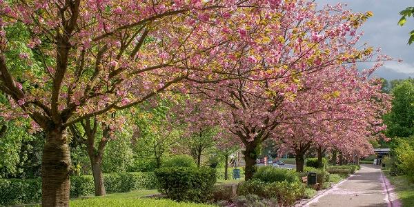 Kirschblüte Bad Eilsen