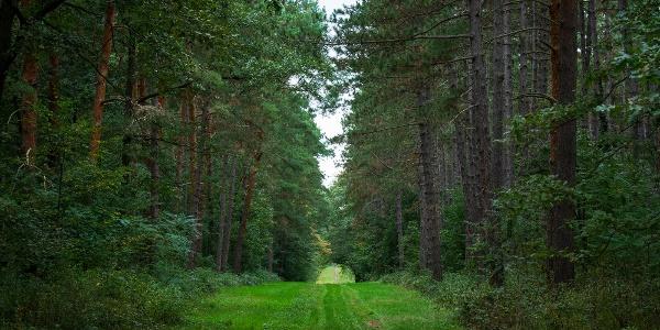 Balról erdei-, jobbról feketefenyves szegélyezi az utat