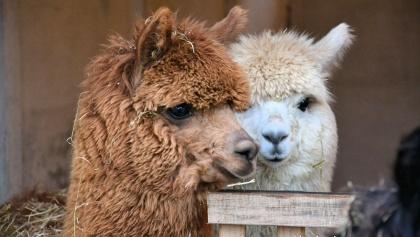 Zwei der Alpakas, die man kennenlernen kann