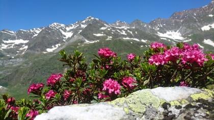 Farbenspiel der Natur: blühende Alpenrosen und ein atemberaubender Blick auf die unmittelbar vor uns in den Himmel ragenden Dreitausender der Ötztaler Alpen.