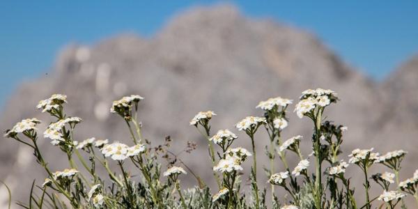 Blumenpracht am Gildensteig im Wilden Kaiser