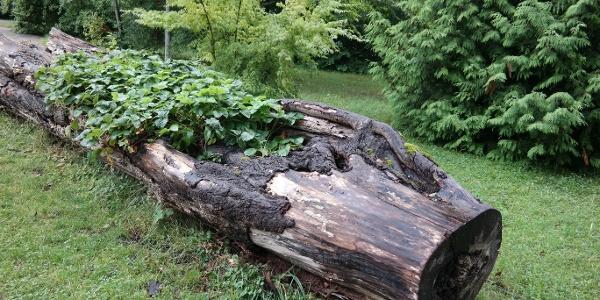 Parkanlage Schloss Ebenzweier:   Erdbeerstaude in morschem Baum