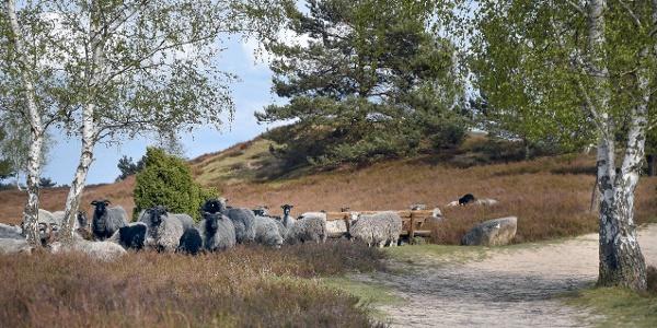 Heidschnucken in der Nemitzer Heide