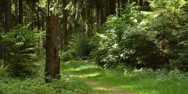 Idyllischer Sommerwald nahe der Greifensteine
