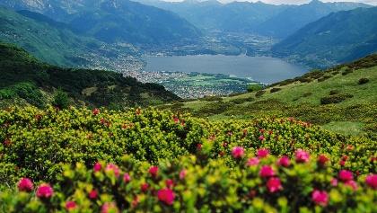 Alpenrosen am Coronna dei Pinci.