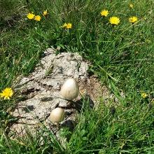 Pilze wachsen aus dem Kuhfladen.