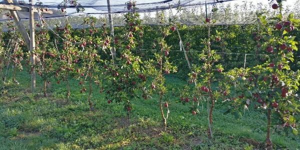 Apfelplantagen am Stadtrand