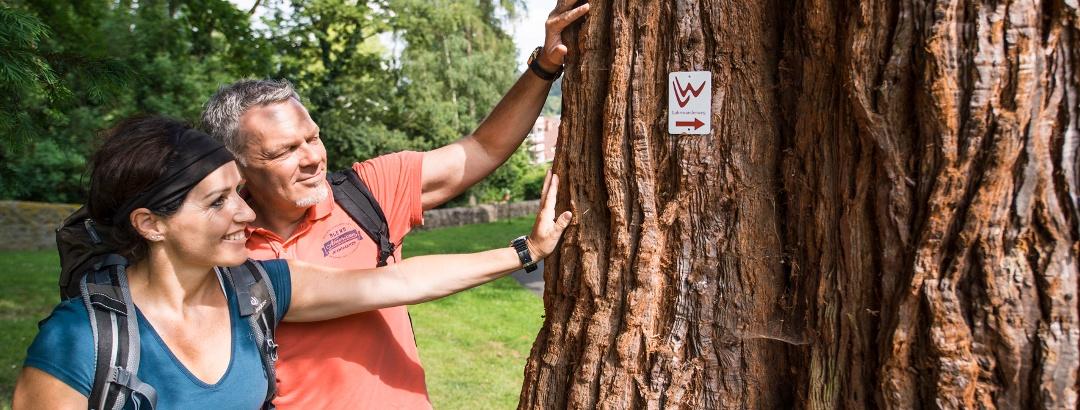 Der Mammutbaum im Braunfelser Kurpark (Etappen 11 und 12)