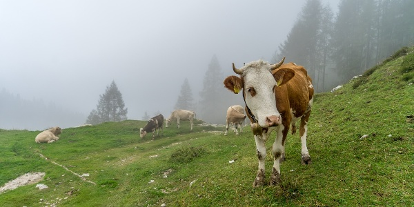Mountain-top Cows