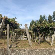 Lots of grape vines