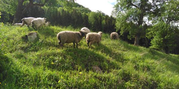 Schafweide neben dem Parkplatz