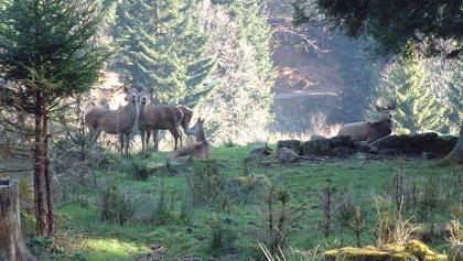 Rotwild im Wildgehege Forbach-Bermersbach