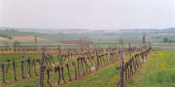 Durch Weingärten wandern