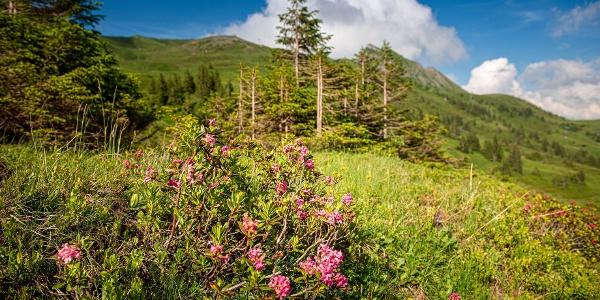 Alpenrosen im Wandergebiet