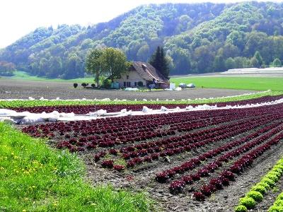 Gemüseplantage am Broye-Kanal