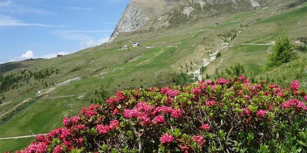 Alpenrosenblüte auf Meran 2000
