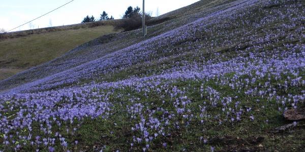 Krokusblüte im April am Mrzli vrh