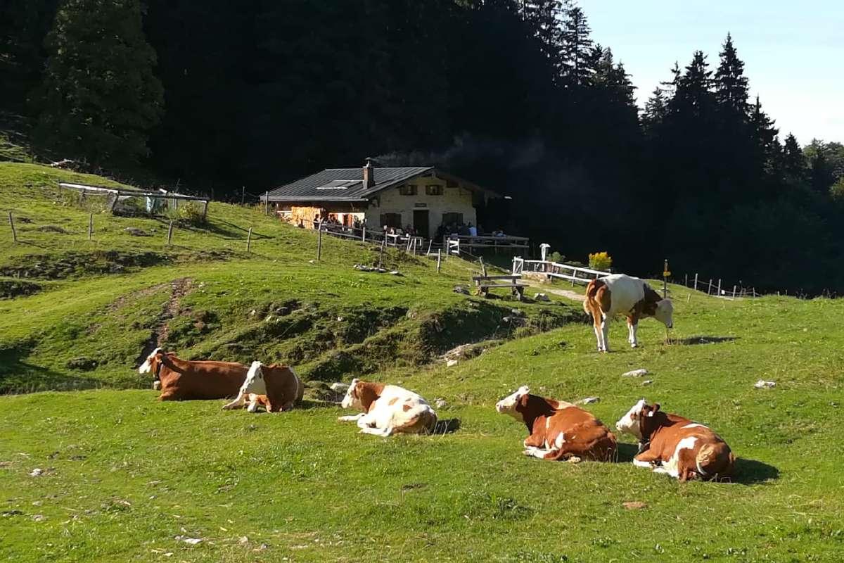 Staudacher Alm mit Kühen