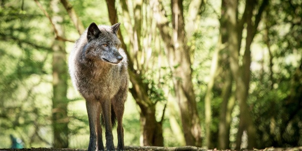 Der Wolf im Wildgehege des WildtierParks Edersee