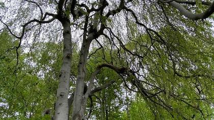 Besonderer Baum im Gebergrund bei Prohlis