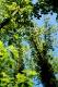Grüne Baumkronen / Quelle: Tourist-Information Uhldingen-Mühlhofen