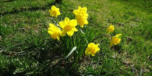 Blühende Narzissen entlang der Osterglockenrunde