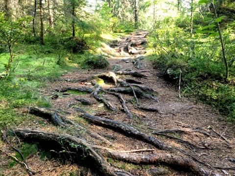 Wurzelweg im Ibacher Moor