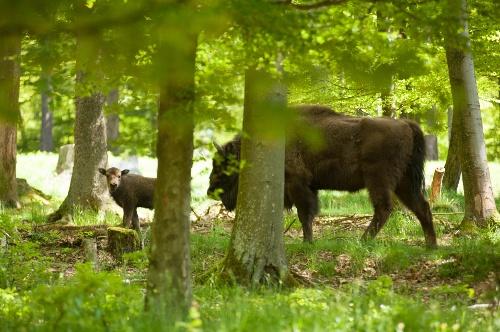 Tierisches Wandervergnügen: Wisent-Pfad - Rothaarsteig-Spur