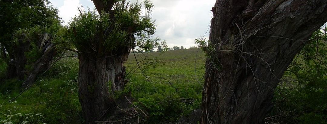 Kopfweiden am Wegesrand (Juni 2006)
