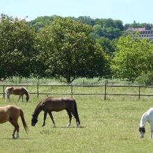 Pferdekoppel und Weingut Schloss Westernhaus vom Weg an der Selz