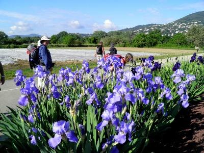 Lilien vor Mandelieu-La-Napoule