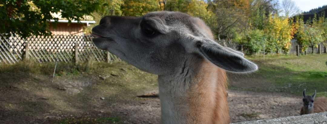 Guanako im Tiergarten Thum