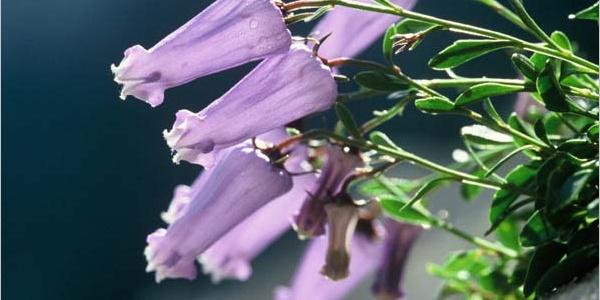 Zoisova zvončnica flower, foto: Jože Mihelič