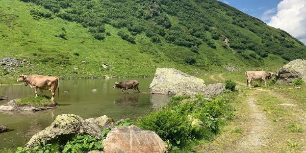 weidende Kühe im Novatal