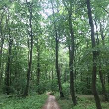 Blätterdach des Buchenwalds auf dem Kamm