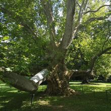 A legidősebb platán fa a parkban