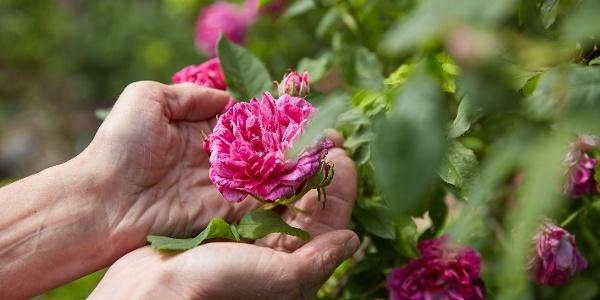 Die Blütenvielfalt des Erndtebrücker Rosengartens lädt zum Erleben mit allen Sinnen ein.