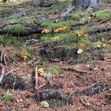 Schwammerl auf der Wöllaner-Tassach-Runde