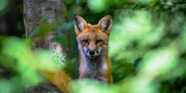 Fuchs im Wildpark Bilsteintal