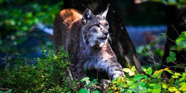 Luchs im Wildpark Bilsteintal