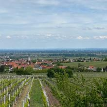 Weinlehrpfad Maikammer - Alsterweiler