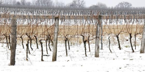 Weingarten Göttlesbrunn im Winter