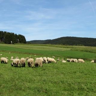 Schafe bei Hösinghausen