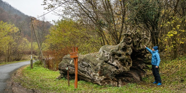 Rákóczi-fa, Parádfürdő