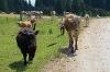 Schumpen auf dem Weg zur Gundhütte - @ Autor: Julian Knacker - © Quelle: Pfronten Tourismus