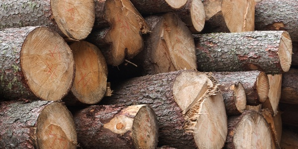 Das Holz der im Naturpark Paneveggio-Pale di San Martino wachsenden Tannen wird zum Bau von Musikinstrumenten verwendet.