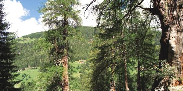 Die Ultner Urlärchen zählen zu den bekanntesten Naturdenkmälern Südtirols.