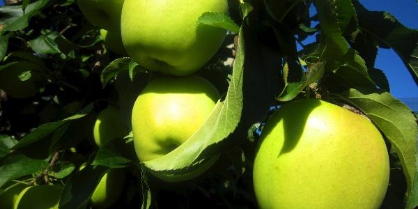Themenwanderung in Dorf Tirol mit Antworten auf viele Fragen zum Thema Apfel.