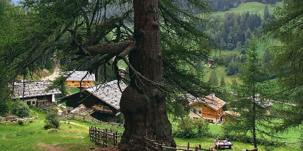 One of thelarici millenari, the ancient larches inSanta Gertrude in the Val d' Ultimo valley.